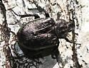 beetle2 - Osmoderma scabra