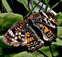 Phyciodes - Phyciodes tharos - female