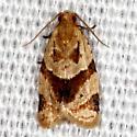 Garden Tortrix Moth - Clepsis peritana