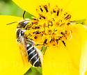 Bee - Megachile brevis - female
