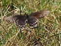 brown swallowtail, yellow spots - Battus philenor