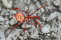Acanthocephala sp - Acanthocephala