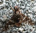 Xenox habrosus - male