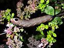 Lintneria eremitus
