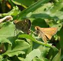 Sachem Pair - Atalopedes campestris - male - female