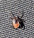 Black-legged Tick - Ixodes scapularis - female