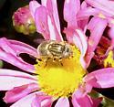 Unknown fly - Eristalinus aeneus