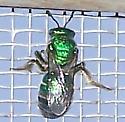 Augochloropsis