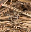 4 Jul Spider - Tigrosa georgicola