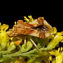 Phymata fasciata