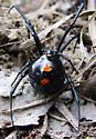 Northern Black Widow  Latrodectus variolus - Latrodectus variolus - female