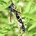 Isodontia breeding pair on Lycopus sp - Isodontia - male - female