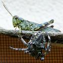 Larger Araneus saevus on the hunt - Araneus saevus