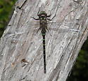 Taper-tailed Darner - Gomphaeschna antilope - male