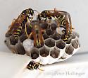 Wasp with Orange Antennae - Polistes dominula