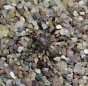 Araneus nordmanni--Voucher Image - Araneus nordmanni - male