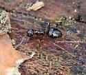 Ant - Prenolepis imparis