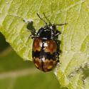 Chrysomelidae ? - Chrysomela aeneicollis