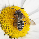 Triepeolus species? - Epeolus - female