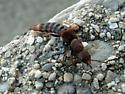 Rove Beetle? - Platydracus