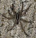 Wolf Spider - Rabidosa punctulata