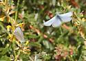 Silvery Blue Courtship Behavior - Glaucopsyche lygdamus - male - female