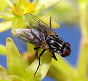 Another fly - Musca domestica