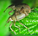 Mating dimorphic weevils - Adaleres ovipennis - male - female