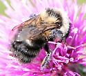 Anthophila (Apoidea) - Bees - Bombus rufocinctus