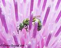 bee/fly - Augochloropsis