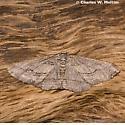 Geometrid - Stenoporpia graciella