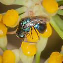 Very tiny metallic blue cuckoo wasp?