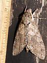 Big Moth - Manduca sexta