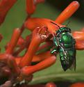 Halictidae? - Euglossa dilemma - female