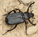 Cremastocheilus sp. - Cremastocheilus depressus