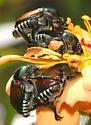 Japanese Beetle pair - Popillia japonica - male - female
