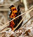 which anglewing? - Polygonia faunus