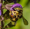 bumblebee with broken stripe down abdomen - Anthidium manicatum