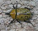Eastern Hercules Beetle - Dynastes tityus - male