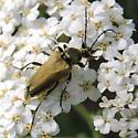 Ochre-backed Beetle - Lepturobosca chrysocoma