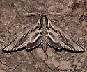 Istar Sphinx - Hodges # 7799 - Lintneria istar