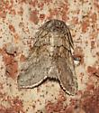Moth - Gluphisia septentrionis