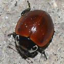 Ladybird beetle - Myzia pullata