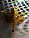 Dragonfly in the cold - Sympetrum semicinctum