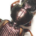 Ground beetle 10.06.26 - Apenes lucidula