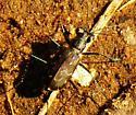 Tiger Beetle ID - Cicindelidia trifasciata