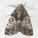 False Underwing Moth - Hodges #8721 - Allotria elonympha