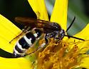 Tiphiidae or Scoliidae? - Dielis - male