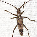 Long-Horned Beetle - Elytrimitatrix undata