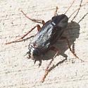 Oriental cockroach - Blatta orientalist? - Blatta orientalis